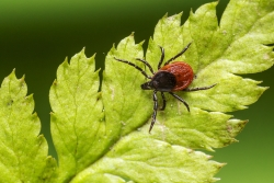 Scientists have discovered another cause of Lyme disease. A new bacterial species—also transmitted by a tick bite—has been identified.
